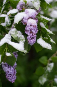 Our poor lilac bush in the SNOW this morning!