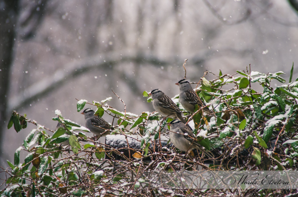 Little Birdies in Snow